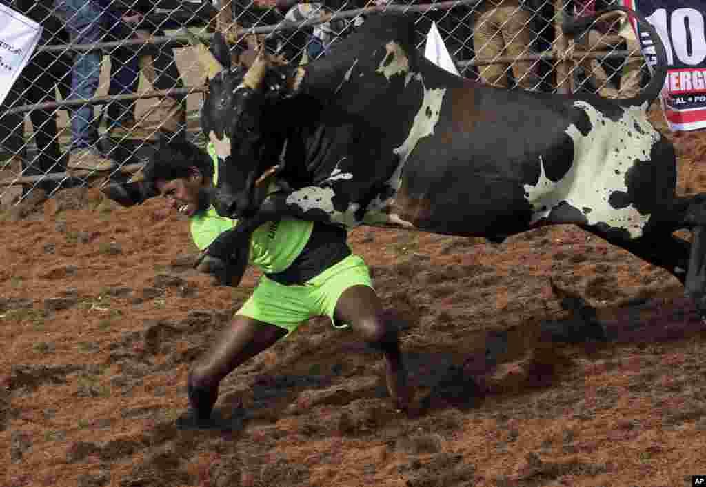 "A villager tames a bull during a traditional bull-taming festival called ""Jallikattu,"" in the village of Palamedu, near Madurai, Tamil Nadu state, India."