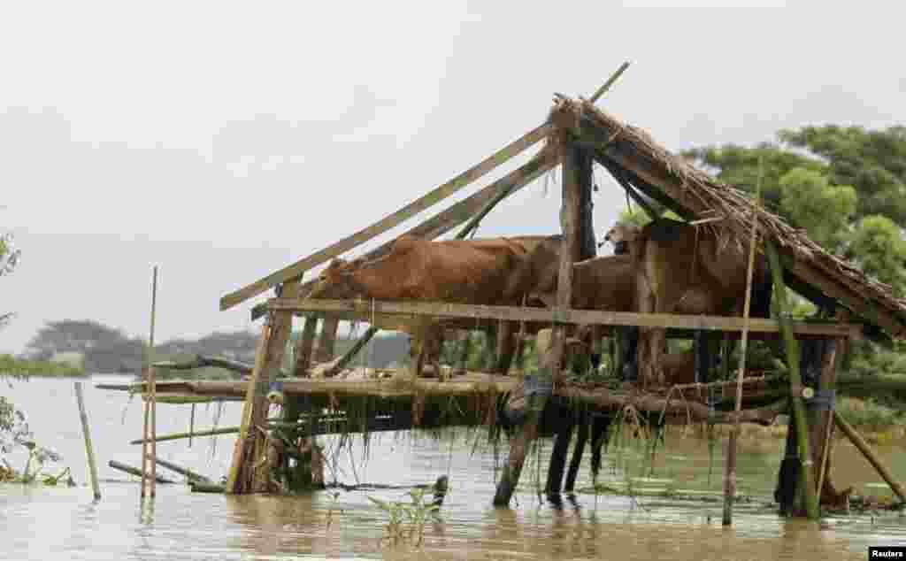 گاوهای ايستاده داخل پناهگاه خود در روستای آب گرفتگه «تارپوند» در منطقه مسکونی دلتای ایراوادی، در برمه. بنا بر گزارش های رسانه های محلی بیش از ۷۰۰ روستا و ۸۰ ه
