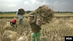 Peneliti pertanian mengritik kebijakan pemerintah menjadikan impor sebagai keputusan akhir mengatasi sektor pertanian dalam negeri, terutama beras (foto: dok).