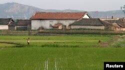 지난 6월 중국 접경 도시 단둥에서 바라본 북한 황금평의 논. (자료사진)
