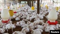 Ribuan ayam di sebuah peternakan di Bogor, 27 Juli 2012. (Foto: Enny Nuraheni/Reuters)