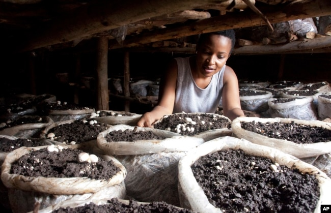 Former reality show contestant Leah Wangari inspects the mushrooms she is growing in her small mud hut in Kiambu, near the capital Nairobi, Kenya, Jan. 17, 2018.