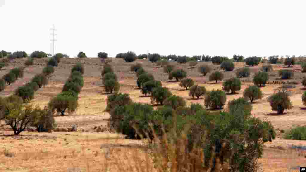 An olive grove near the Gadhafi-held town of Bani Walid. September 4, 2011. VOA - E. Arrott