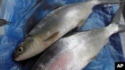 中國大量訂購既美味又營養價值高的台灣虱目魚