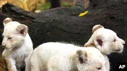 Three one-month-old white lion cubs are seen in their enclosure at the Buenos Aires zoo.