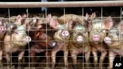 Sebuah peternakan babi di negara bagian North Dakota, AS (foto: dok).
