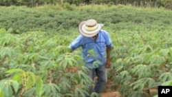 A cassava field in Colombia. Cambodian exports needs greater diversification, including production of sugar, cassava and other goods.