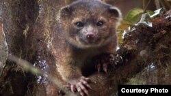 에콰도르에서 새롭게 발견된 포유류 동물 '올린기토'.