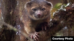 A team, led by Smithsonian scientist Kristofer Helgen, spent 10 years examining hundreds of museum specimens and tracking animals in the wild in the cloud forests of Ecuador. The result ― the newest species of mammal known to science, the olinguito (Bassaricyon neblina). (Credit: Mark Gurney)