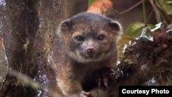 科学家在南美洲厄瓜多尔的云雾林当中发现了一种新的食肉动物物种。