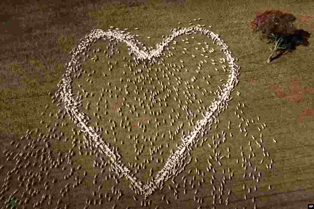 In this image taken from video, sheep form the shape of a heart in a field in Guyra, northern New South Wales, Australia, Thursday, Aug. 5, 2021. Ben Jackson, a sheep farmer stuck in lockdown, was unable to attend his aunt's funeral, has honored her memor