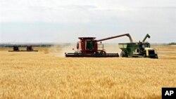 Nông dân thu hoạch lúa mì tại 1 trang trại ở miền Trung Tây Hoa Kỳ