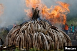 Fire burns part of an estimated 105 tons of ivory and a ton of rhino horn confiscated from smugglers and poachers at the Nairobi National Park near Nairobi, Kenya, April 30, 2016.