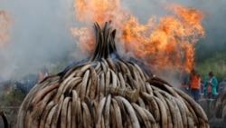非洲自然保护者赞扬中国禁止象牙贸易