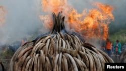 肯尼亚在内罗毕国家公园里焚烧从走私贩子与偷猎者手中缴获的105吨象牙和犀牛角。(2016年4月30日)