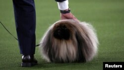 Wasabi, a Pekingese of East Berlin, Pennsylvania is presented by his owner and handler David Fitzpatrick before winning the Best in Show at the 145th Westminster Kennel Club Dog Show at Lyndhurst Mansion in Tarrytown, New York, U.S., June 13, 2021.