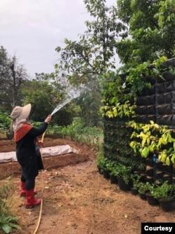 Elly Listiyowati Oemar- Merawat tanaman hias tidak hanya sekedar menyiram dan memberi pupuk, tapi juga membersihkan hamanya dan memperhatikan media pertumbuhannya. (Foto: Elly Oemar)