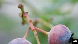 บลูเบอร์รี่กำลังเป็นผลไม้ยอดนิยมในเกาหลีใต้