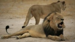 US Steps Up Efforts To Protection Africa's Lions
