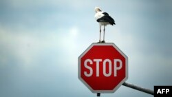 A stork sits on a stop sign near Immerath, western Germany, on October 15, 2013.