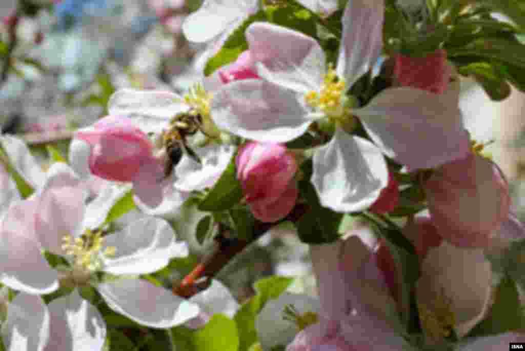 شکوفه های درختان سیب - اهر عکس: مصطفی قربان موحد
