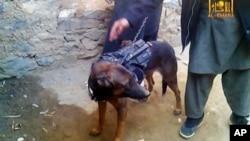 被塔利班捕獲的北約軍犬