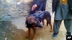 Anjing NATO yang ditangkap Taliban di Afghanistan dalam pertempuran di provinsi Laghman, sebelah timur Kabul akhir tahun lalu, terlihat dalam video di YouTube (7/2).