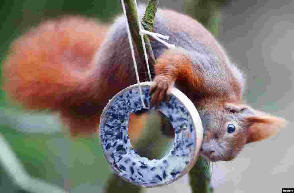 سنجاب قرمز با در دست داشتن غذای پرنده بر روی یک درخت در برلین آلمان