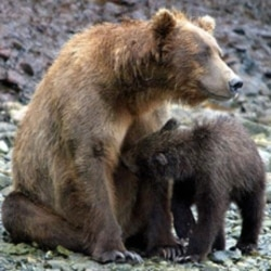 A mother brown bear nurses her cub in the McNeil River State Game Sanctuary southwest of Anchorage, Alaska