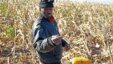 A farmer picks his maize in a field  near the house and birth place of former South African President Nelson Mandela in Qunu, South Africa, Wednesday,  June 12, 2013.