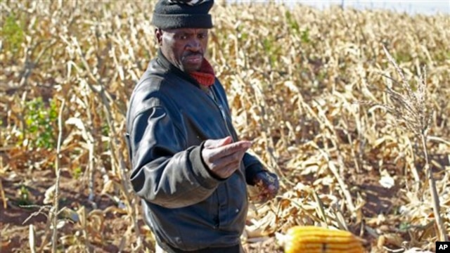 A farmer picks his maize in a field  near the house and birth place of former South African President Nelson Mandela in Qunu, South Africa, Wednesday,  June 12, 2013.  (AP Photo/Schalk van Zuydam)