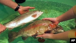 Comparing a standard grown rainbow trout (left) and a genetically-modified rainbow trout (right). Both fish are the same age.