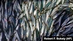 In this Wednesday, July 8, 2015 file photo, herring are unloaded from a fishing boat in Rockland, Maine. (AP Photo/Robert F. Bukaty, File)