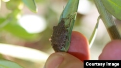 Invasive stink bug on an olive branch in Oregon's Willamette Valley. (Vaughn Walton, OSU)