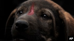 In this Feb. 14, 2020 photo, Egyptian Vets for Animal Care, the country's first spay and neuter program, mark a puppy with red paint after giving it a rabies shot, in Cairo, Egypt.