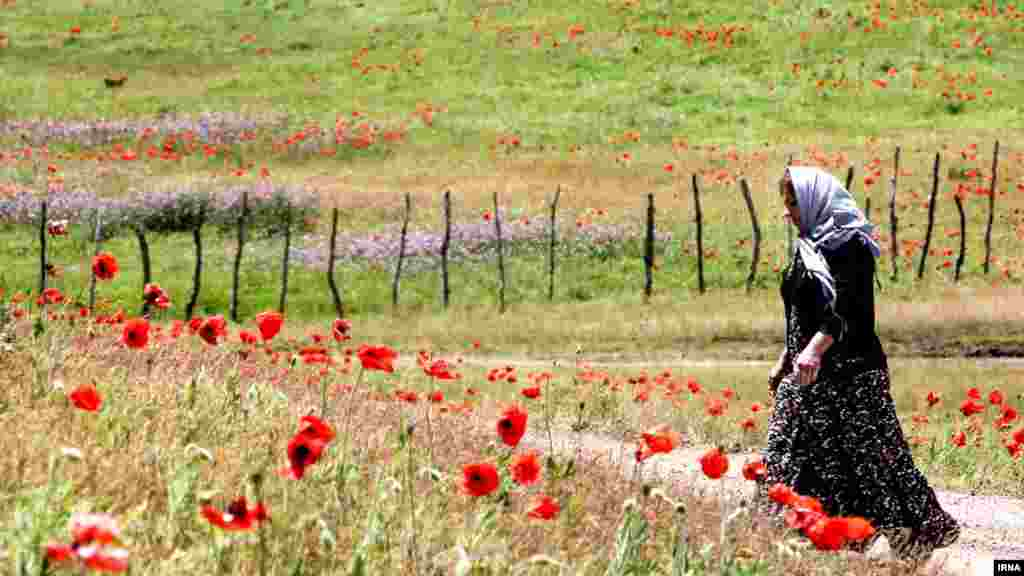 رویش گل های شقایق در منطقه ییلاقی شکر دشت شهرستان تالش در غرب گیلان. عکس: مجتبی محمدی، ایرنا