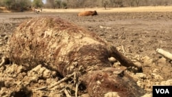 Cattle Dying