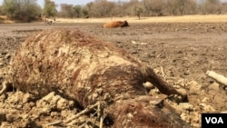 Drought has resulted in dozens of cattle dying in southern Zimbabwe.