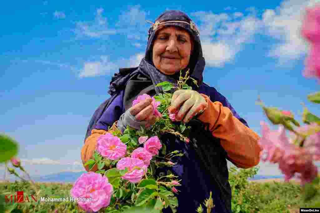 برداشت گل محمدی - سبزوار عکس: محمد حشتمی