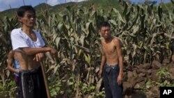 지난 8월 북한 평안남도 성천군에서 홍수 피해를 입은 옥수수 밭.