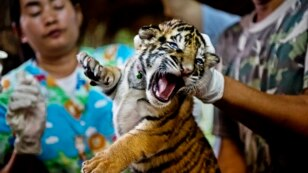 FILE - One of 16 tigers cubs seized from illegal wildlife traffickers. It is believed that this cub was reared in an illegal tiger farm in Thailand and destined for China, Oct. 26, 2012.