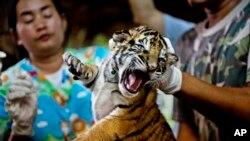 Satu dari 16 anak harimau disita dari para pedagang satwa liar. Anak harimau ini diyakini telah dipelihara di sebuah peternakan di Thailand untuk diperdagangkan ke Tiongkok (Foto: dok).