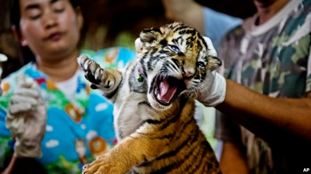 One of 16 tigers cubs seized from illegal wildlife traffickers. It is believed that this cub was reared in an illegal tiger farm in Thailand and destined for China, October 26, 2012.
