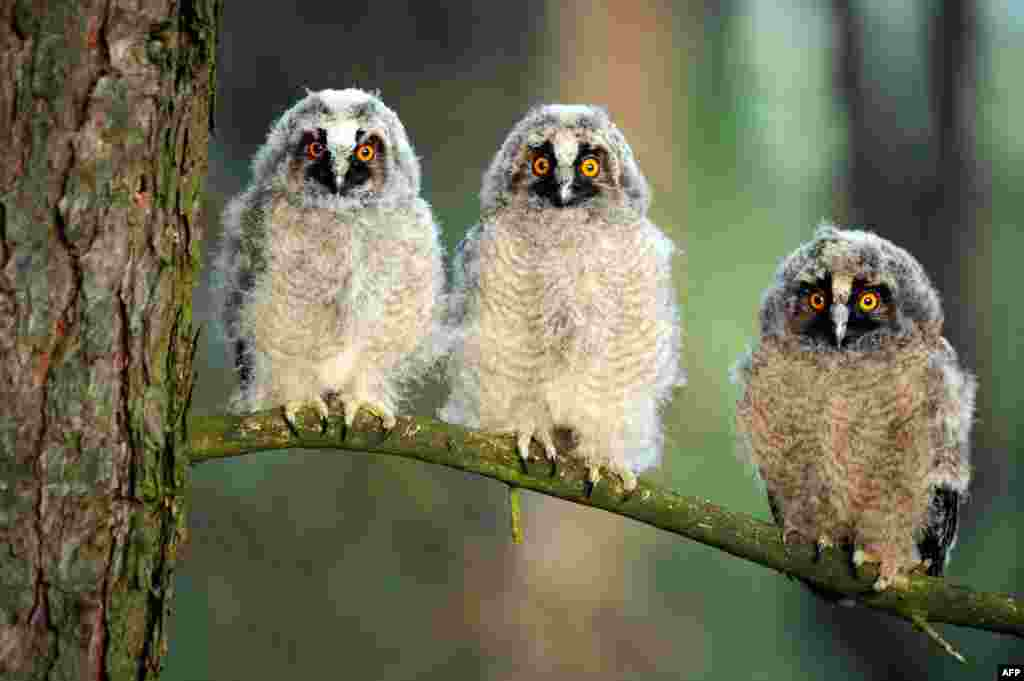 Three long-eared owl chicks sit on a tree branch during sunrise at a wildlife sanctuary near the village of Vygonoshchi, some 270 km southwest of Minsk, Belarus.