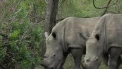 South African Conservationists Use Poison to Save Rhinos