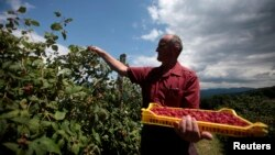 FILE - Villager Mehinovic Ismet picks raspberries in the village of Zeljezno Polje, about 130km (81 miles) north of Sarajevo, June 25, 2011.