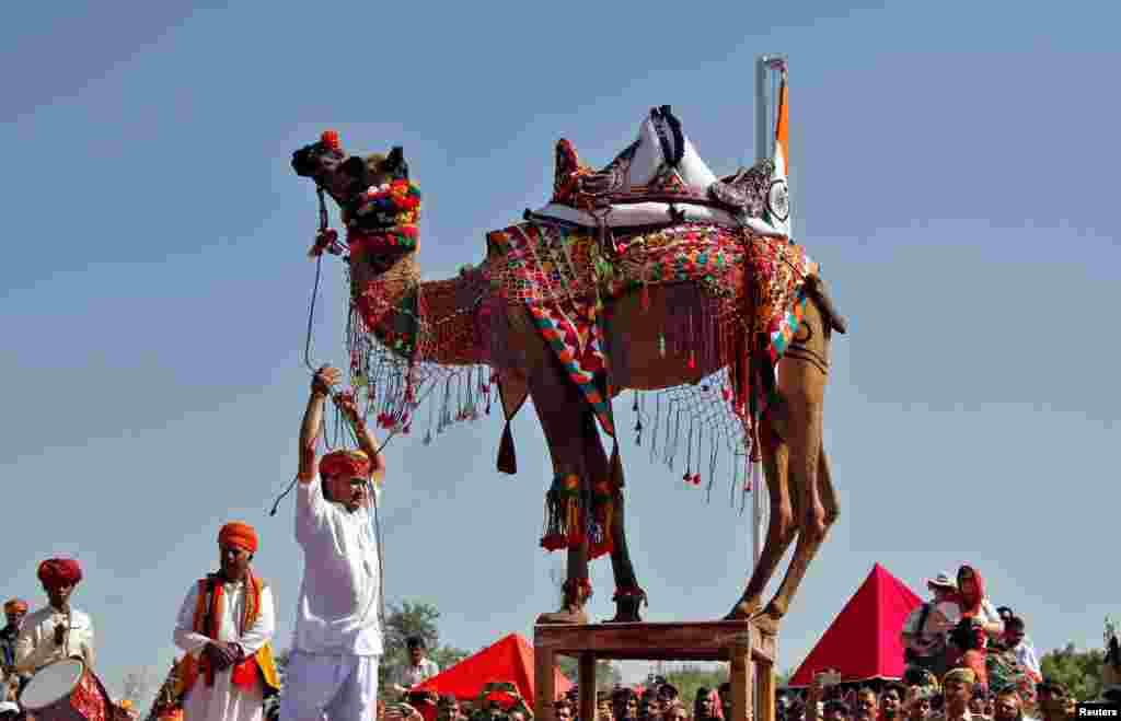 សត្វអូដ្ឋដែលត្រូវបានតុបតែងធ្វើការសម្តែងរាំ អំឡុងពេលការប្រកួតមួយនៅ Pushkar Fair ទីដែលសត្វពាហនៈនានា ជាពិសេសសត្វអូដ្ឋ ត្រូវបាននាំមកយកលក់ និងជួញដូរក្នុងរដ្ឋ Rajasthan ប្រទេសឥណ្ឌា។