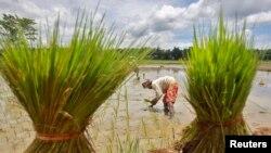 Nông dân làm việc trong ruộng lúa ở ngoại ô Agartala, thủ phủ bang Tripura, Ấn Độ.