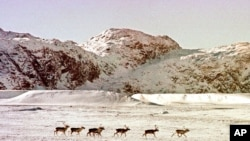 "A herd of ""tuktu,"" the Inuktitut word for caribou, move across the tundra in the Opingivik area of Baffin Island, Canada, March 2, 1999. (AP Photo/Stephan Savoia)"