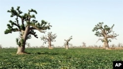 A melon field is pictured at a farm in the village of Djilakh, 80km south of Dakar, Senegal (2008 file photo)